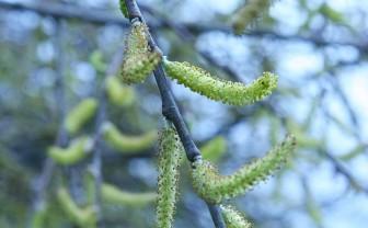 Pollen in de lucht van een boom